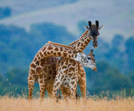 Two male giraffes fighting each other in the savannah. Kenya. Tanzania. East Africa. Royalty Free Stock Photos