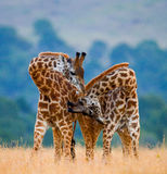 Two male giraffes fighting each other in the savannah. Kenya. Tanzania. East Africa. Royalty Free Stock Images