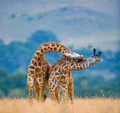 Two male giraffes fighting each other in the savannah. Kenya. Tanzania. East Africa. Royalty Free Stock Photography
