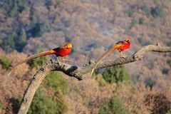 Golden Pheasant. Two male golden Pheasant stand on tree trunk. Scientific name: Chrysolophus pictus Stock Photos