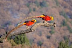 Golden Pheasant. Two male golden Pheasant stand on tree trunk. Scientific name: Chrysolophus pictus Stock Photography