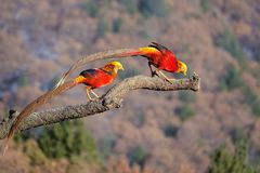 Male Golden pheasant. Two male Golden pheasant stand on tree trunk. Scientific name: Chrysolophus pictus Royalty Free Stock Image