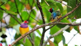 Two male Gouldian finch birds. Male rainbow finch standing on a tree branch in an aviary in Butterfly World, South Florida.  The Gouldian Finch, Erythrura Royalty Free Stock Photography