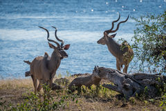Two male greater kudu standing beside river Royalty Free Stock Images