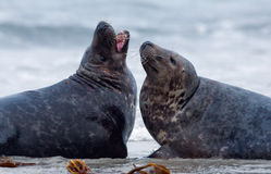 Two male grey seal Stock Image