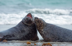 Two male grey seal Royalty Free Stock Image