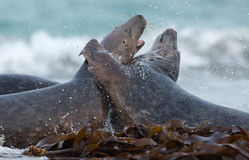 Two male grey seal Stock Photography
