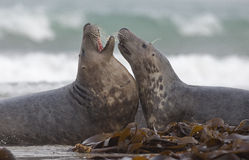 Two male grey seal stock photos