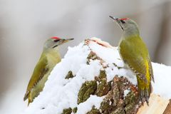 Two male grey woodpeckers. On the forest feeder Royalty Free Stock Photography