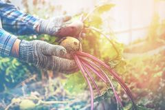 Two male hands holding torn from the garden beets. The concept of urban garden, organic vegetables. Close up. stock image