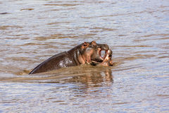 Hippopotamus fighting. Two hippopotamus in a river fighting. Serengeti National Park, Tanzania, Africa Stock Image