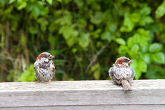 Two male house sparrows on a fence Stock Photo