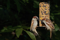 Two male house sparrows passer domesticus feeding Royalty Free Stock Photo