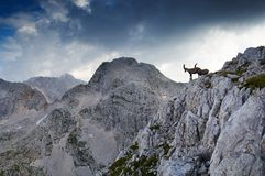 Two male ibex. Standing on rocky ridge in Julian Alps in Slovenia Stock Photos