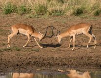 Two male impala fighting during a drinking break. Two male impala, Aepyceros melampus, fighting with heads lowered along a lake shore, horns are close together Stock Photos