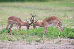Two male impala fight in for the herd with best territory Royalty Free Stock Photography