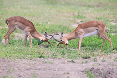 Two male impala fight in for the herd with best territory Stock Photography