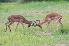 Two male impala fight in for the herd with best territory Stock Photo