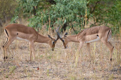 Two male impala fight in for the herd with best territory Royalty Free Stock Photos