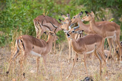 Two male impala fight in for the herd with best territory Royalty Free Stock Images