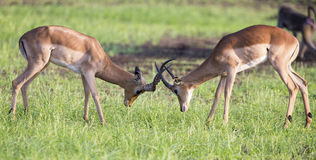 Two male impala fight in for the herd with the best territory Royalty Free Stock Photos