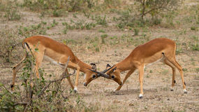 Two male impalas, fighting over territory in the Serengeti, Tanzania Stock Image