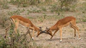 Two male impalas, fighting over territory in the Serengeti, Tanzania Stock Image