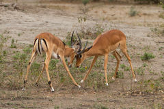 Two male impalas, fighting over territory in the Serengeti, Tanzania Stock Photo