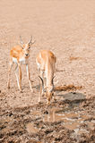 Two male impalas. Two young impalas antelope has come on watering place Stock Images