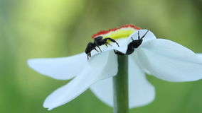 Two male jumping spiders meeting each other on daffodil flower.  stock footage