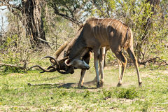 Two male kudu antelope fighting Royalty Free Stock Images