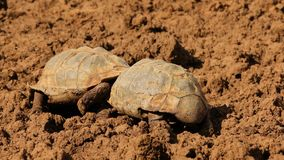 Leopard tortoises fighting - South Africa stock footage