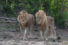 Two male lion brothers stands together in the Greater Kruger National Park stock photography