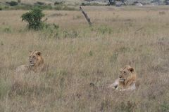 Two male lion lying in the dry grass resting in Masai Mara, Kenya royalty free stock image