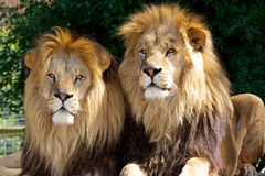 Two male Lions. Taking a break in the spring sun Stock Photos
