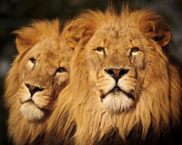 Two Male Lions. Two African Lions sitting together in late afternoon sunshine stock photo