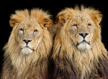 Two Male Lions. Two African Lions sitting together in late afternoon sunshine against a black background royalty free stock photography