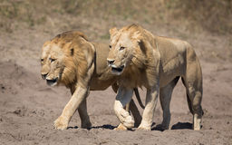 Two male Lions, Botswana. Two male African Lions walking together in the Chobe National Park in Botswana Royalty Free Stock Photos