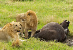 Two male lions and a buffalo in Masai Mara National park. Tow male lions hunting down an old buffalo male in Masai Mara national park in Kenya, Resting in the Royalty Free Stock Photos