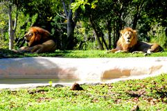 Two male lions in captivity Royalty Free Stock Image