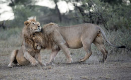,two male lions greeting. Africa, Tanzania Serengeti National Park,two male lions greeting Stock Image