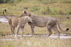 Two male lions greeting to affirm loyalty bond Stock Image