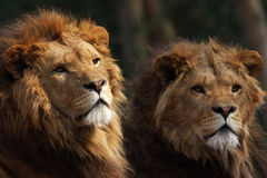 Two male lions on the lookout Royalty Free Stock Photography