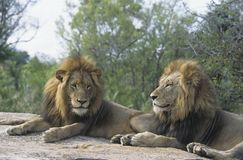 Two male Lions lying on rock Royalty Free Stock Photo