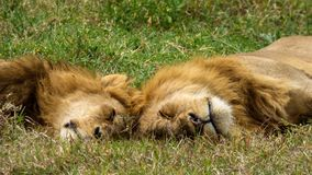 Two male lions. Sleeping on the savannah Royalty Free Stock Photo