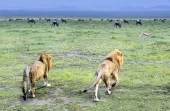 Two male lions walking off into the Serengeti in Tanzania, Africa. Two male lions walking off into the Serengeti to look for dinner on a rainy day in Tanzania stock images