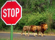 Two male lions walking the tar road next to a big stop sign. Two impressive looking male lions in full sight walking the tar road next to a big red-and-white Royalty Free Stock Photography