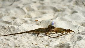 Two male lizards fight on sand. Pangan. Thailand royalty free stock images
