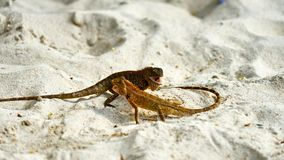 Two male lizards fight on sand. Pangan. Thailand royalty free stock photos