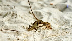Two male lizards fight on sand. Pangan. Thailand stock photo